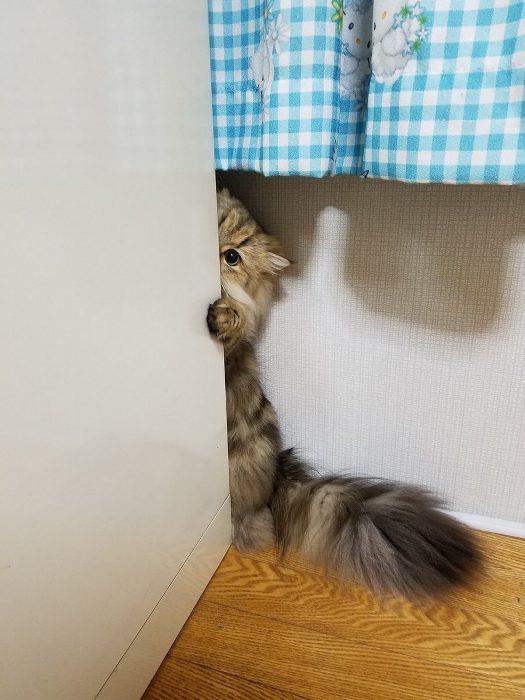 まる見えだよ! 物陰からこっそり見ているのがバレバレのネコちゃんがかわいい