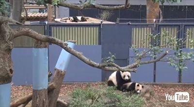 上野動物園シャンシャン
