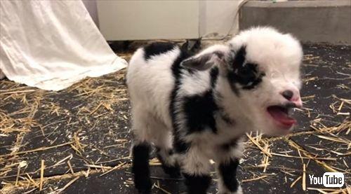 赤ちゃんヤギ
