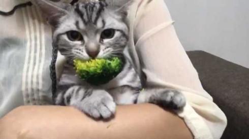 猫 ブロッコリー 泥棒