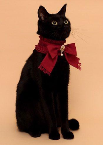 スタンドカラーの首輪をした猫