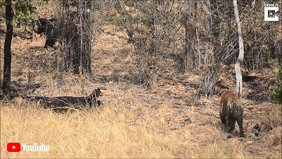 Sloth Bears Chases Off Tiger