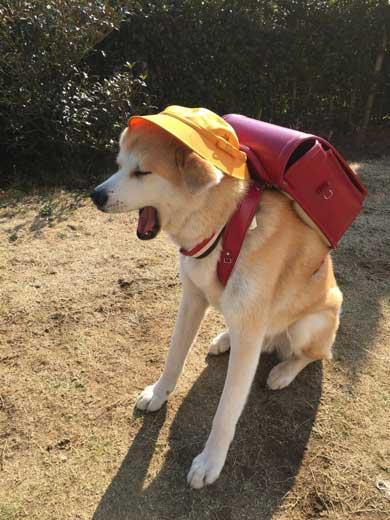 秋田犬 あさり ランドセル 娘 発想力 愛犬
