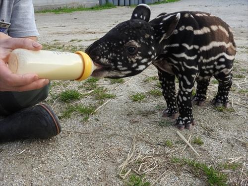 東武動物公園マレーバク誕生