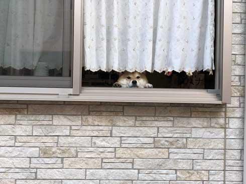 柴犬 いい顔 帰ろ 拒否 いやいや 顔 散歩 ハナ