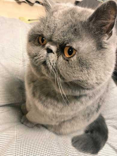 猫 障子破り 超強プラスチック障子 戦い エキゾチックショートヘア