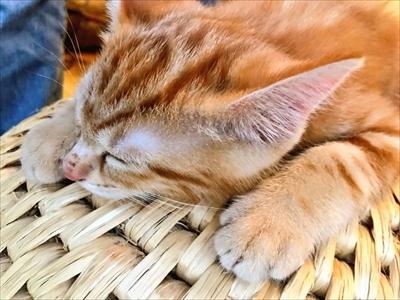 猫ちぐらの上で寝る子猫