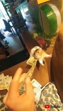 Pet Rat Steals Money From Owner