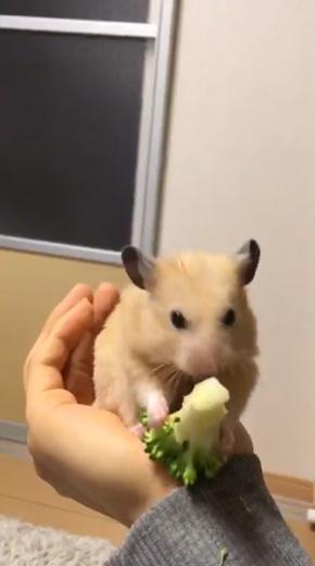 ブロッコリー 食べる ヘタクソ 選手権 ハムスター