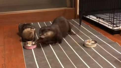 カワウソ ヨウム ご飯 横取り 盗み食い