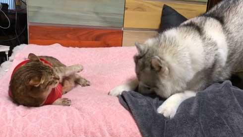 シベリアンハスキー 犬 シルビア 猫より弱い 泣き言