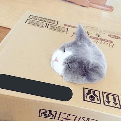 ダンボールに顔が埋まっている猫