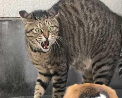 猫 教科書通り 絵に描いたような 怒り方 威嚇 目 模様