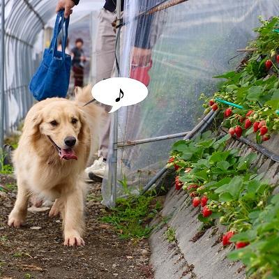 こー君 イチゴ狩り