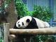 パンダの指は実は7本ある