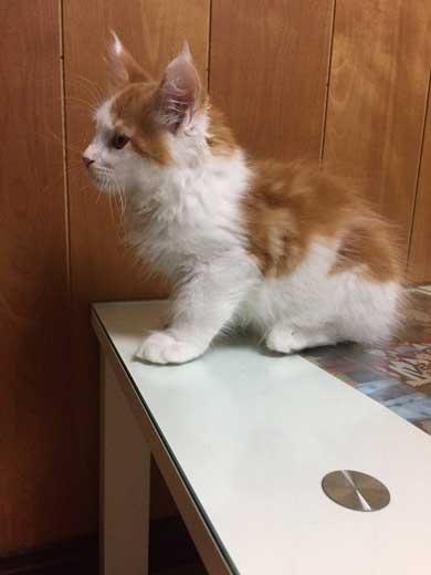 立派になった メインクーン 猫 大きい デカ 成長 子猫