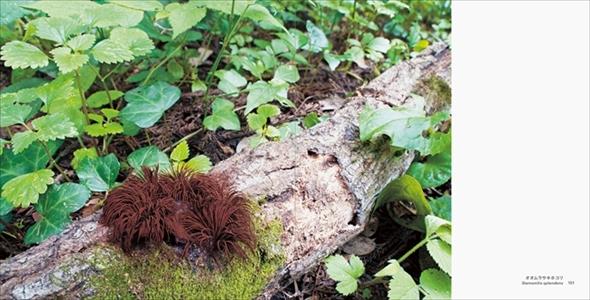 美しい変形菌