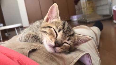 子猫 寝る 腹 ちび太 天使