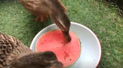 スイカを食べるアイガモさん