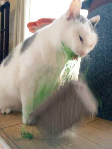 猫 草 食べる むしゃむしゃ 荒ぶる