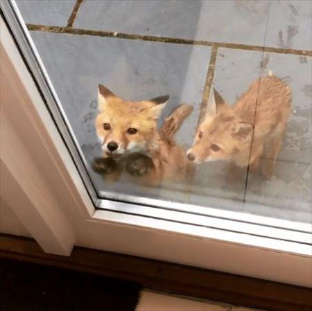 ドアをノックするキツネがかわいい