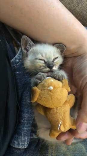 子猫 ヌイグルミ 遊び 寝落ち 瞬間