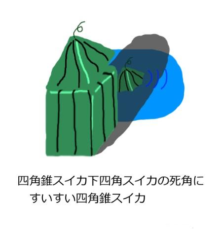 スイカ すいすいスイカ 四角錐スイカ