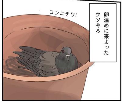 鳩 卵 ベランダ 鳥獣保護法
