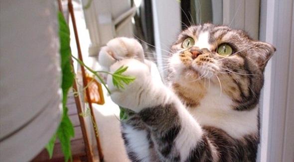 緑の葉っぱが気になるニャ ベランダのゴーヤーに近づく為あれこれ頑張るネコちゃんがかわいい