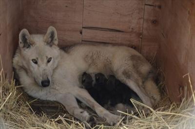 平川動物公園シンリンオオカミ