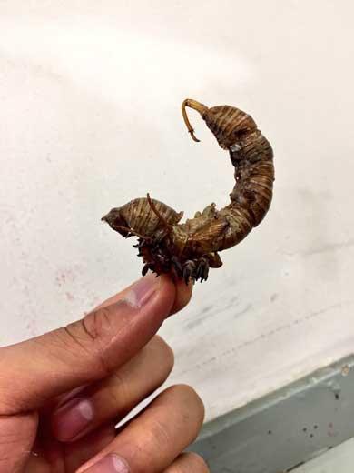 蝉の抜け殻 クリーチャー 制作 キモい ラスボス