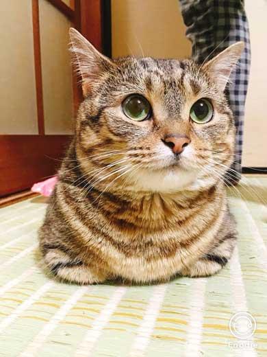 猫 起き上がり方 かわいい 前足 動き