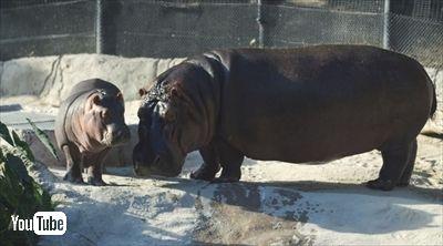 サンディエゴ動物園カバの赤ちゃん