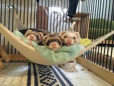 階段で眠るフェレット
