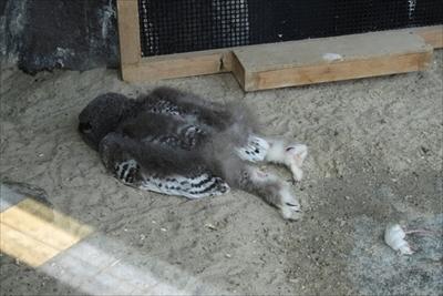 日本平動物園シロフクロウ
