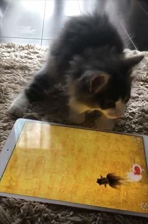 金魚のアプリで遊ぶ猫ちゃん