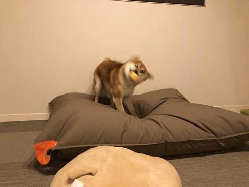 柴犬 ぽてと 表情 顔 遊ぶ ブンブン ヤバい ブレ 写真