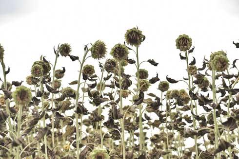 枯れた ひまわり 写真 ダーク 見頃を過ぎた 蓮田 ひまわり畑