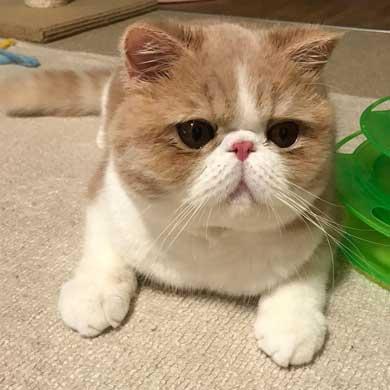 水 飲みたい 猫 飲めない エキゾチックショートヘア
