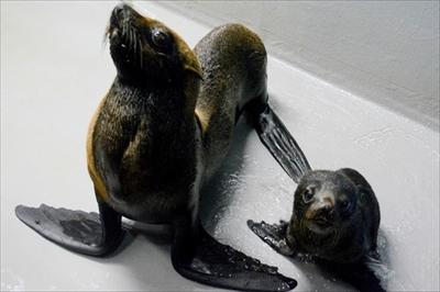 京都水族館ミナミアメリカオットセイ