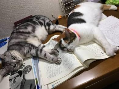 勉強させてくれない猫