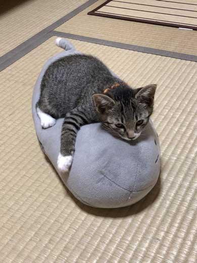 猫 枕 ハグ 寝顔 寝起き