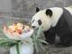 おとなだってかわいいでしょ? 神戸市立王子動物園のジャイアントパンダ「タンタン」が23歳に