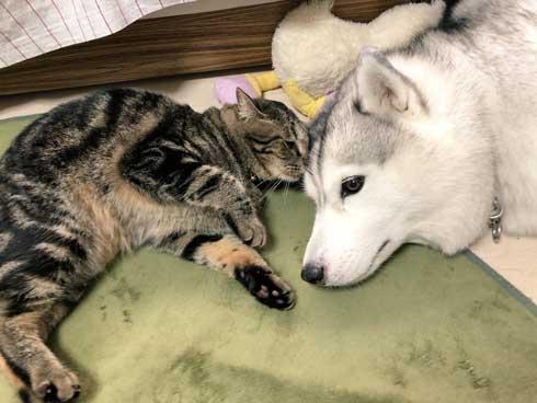ハマジ ベッド 寝方 大吉 猫 ハスキー 犬 シルビア