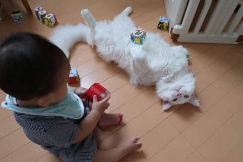 心が広い 猫 赤ちゃん 遊び相手 メインクーン