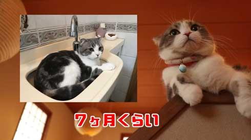 猫 こはくちゃん 成長過程 スコティッシュフォールド