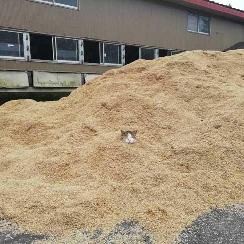 砂風呂 牛舎 猫 埋まる 暖かい