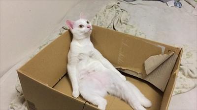 段ボールに入る猫さん