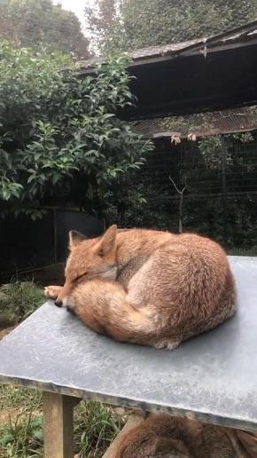 限界まで寝るキツネさん