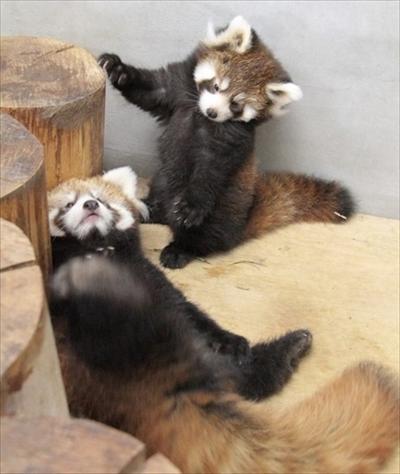 レッサーパンダの赤ちゃん一般公開